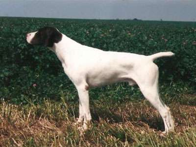 Duitse staande hond (Korthaar)