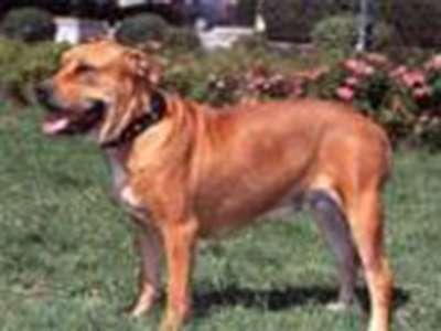 Majorca Mastiff