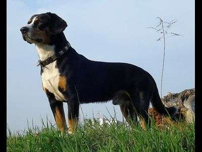 Entlebuch Cattle Dog