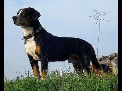 Entlebuch cattle dog