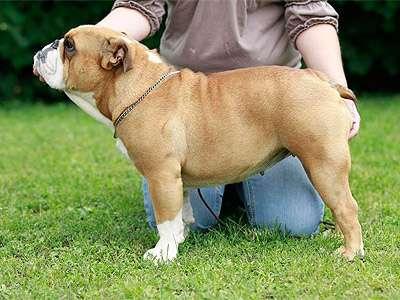 Englanninbulldoggi
