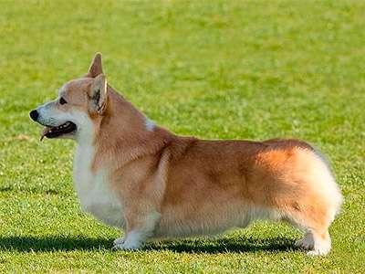 韋爾斯潘布魯克哥基犬