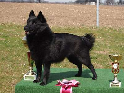 find out everything about schipperke working dog