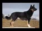 Лапландская оленегонная собака (лапландский хердер)