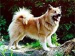 Iceland Dog (Icelandic Sheepdog)