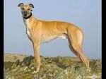 Anglický chrt (Greyhound)