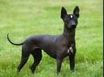 Mexikói meztelen kutya