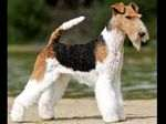 Foxterrier Smooth