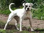 Amerikai bulldog