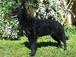 匈牙利馬地犬