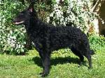 匈牙利马地犬